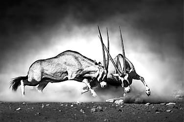 Kanvas Antelopes 80x120 cm