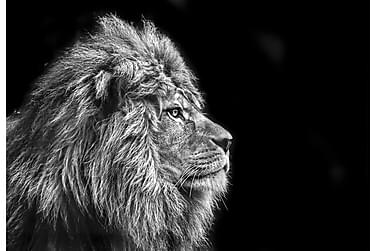 Kanvas Lion 70x100 cm
